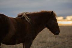 Icelandioc horse in the wild sunset Stock Photos