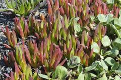 Iceplant (chilensis do Carpobrotus) Imagens de Stock Royalty Free
