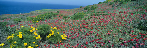 Iceplant and coreopsis Stock Photos