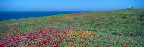 Iceplant and coreopsis on Anacapa Island Stock Images