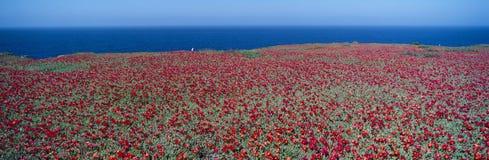 Iceplant and coreopsis on Anacapa Island Royalty Free Stock Photos