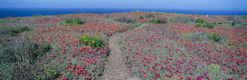 Iceplant and coreopsis on Anacapa Island Stock Photo