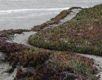 Iceplant en la costa de Mendocino Imágenes de archivo libres de regalías