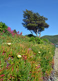 Iceplant in Flower at Waikawa Bay, Picton New Zealand Royalty Free Stock Image