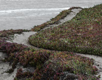 Iceplant på den Mendocino kusten Royaltyfria Bilder