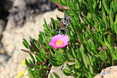 Iceplant Pink Flower on a beach slope. Iceplant and pink flower Carpobrotus edulis growing on a beach slope Royalty Free Stock Photos