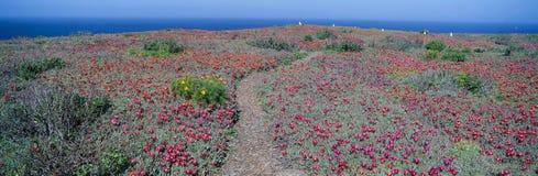 Iceplant und Coreopsis auf Anacapa Insel stockfoto