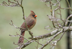 Icestorm frames a female Cardinal Royalty Free Stock Photography