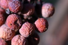 Icewine grapes in vineyard royalty free stock photo
