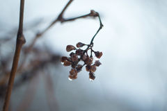 Icewine Grapes Stock Photography