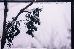 Icewine-Trauben Stockfotografie