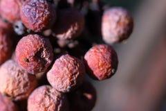 Icewine winogrona w winnicy Zdjęcie Royalty Free