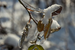 Icey Leafs. After a rain all night and then turning to snow everything was frozen Royalty Free Stock Images