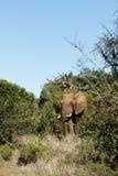 Ich bin der CHEF - Afrikaner-Bush-Elefant Lizenzfreies Stockfoto
