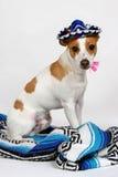 Ich bin nicht Chihuahua Lizenzfreies Stockbild