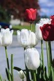 Ich liebe dich auf weißer Tulpe Stockfotografie