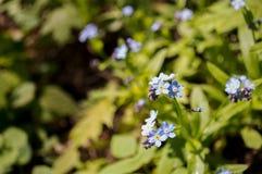 Ich-nots Blumen stockfotografie