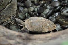 Ich spioniere eine Schildkröte aus stockfoto