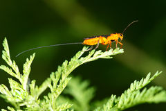 Ichneumon fly Stock Image