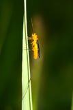 Ichneumon fly. A ichneumon fly lands on grass Stock Photos