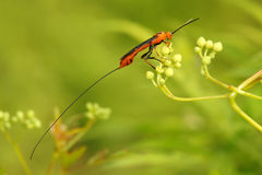 Ichneumon fly Royalty Free Stock Image