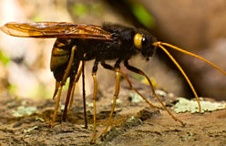 Ichneumon fly drilling bark. By using ovipositor Royalty Free Stock Image