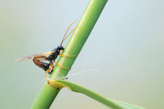 Ichneumon fly. A ichneumon fly is laying eggs on reed stem Stock Photos