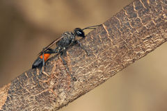 Ichneumon fly Stock Photography