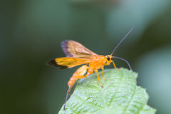 Ichneumon. Resting on a green leaf Royalty Free Stock Images