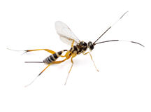 Ichneumon Wasp Stock Images