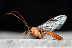 Ichneumon wasp Royalty Free Stock Photos