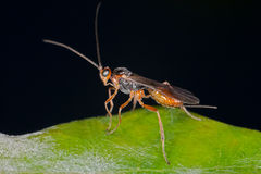 Ichneumon wasp. Very small (3mm long) Ichneumon wasp standing the edge of a green leaf royalty free stock photos