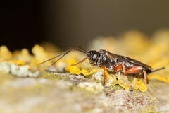 Ichneumon Wasp Stock Photo