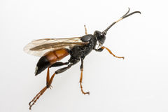 The Ichneumon Wasp (Coelichneumon viola) Royalty Free Stock Images