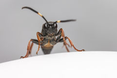 The Ichneumon Wasp (Coelichneumon viola) Stock Photography