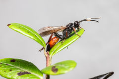 The Ichneumon Wasp (Coelichneumon viola) Stock Photos