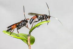 The Ichneumon Wasp (Coelichneumon viola) Royalty Free Stock Photos