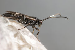 The Ichneumon Wasp (Coelichneumon viola) Stock Photo