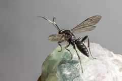 The Ichneumon Wasp (Coelichneumon viola) Royalty Free Stock Image