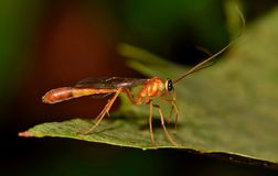 Ichneumon wasp on a leaf displaying antennae. stock image