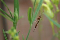 Ichneumon wasp Stock Images