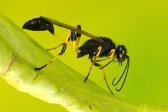 Ichneumon Wasp Stock Image