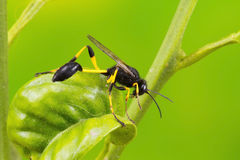 Ichneumon Wasp Royalty Free Stock Images