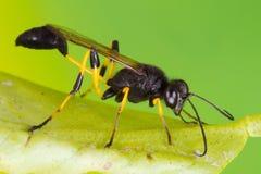 Ichneumon Wasp Stock Photography