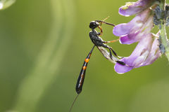 Ichneumon wasp Royalty Free Stock Photography