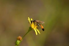 Ichneumon on the yellow wildflower Stock Photo