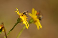 Ichneumon on the yellow wildflower Royalty Free Stock Images