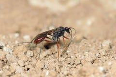 Ichneumonfluga Arkivbild