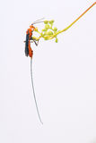 Ichneumonfluga Royaltyfri Fotografi