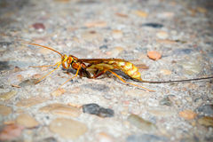 Ichneumonidae wasp Royalty Free Stock Photography